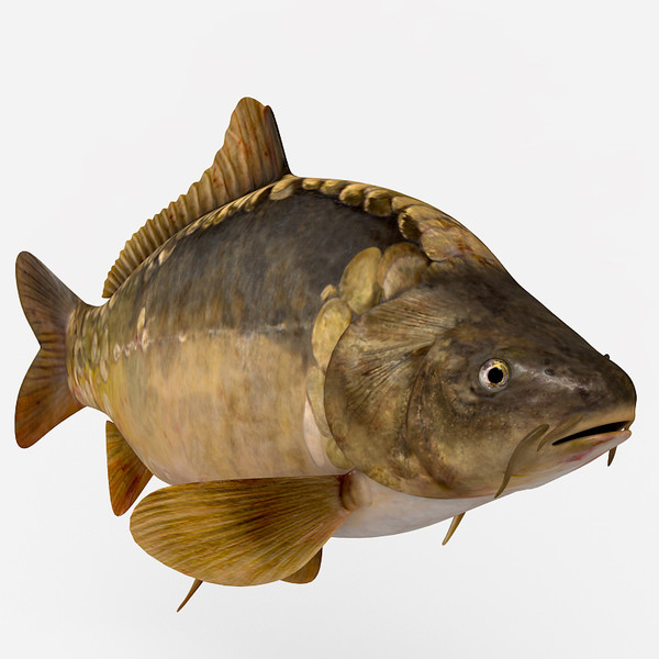 3d models of carp at turbosquid 27 march 2013 for Carp fish pictures