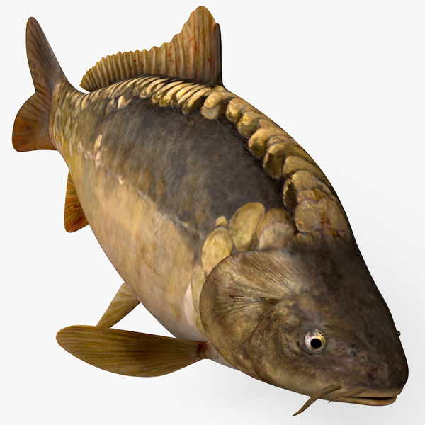 3D Models Of Carp At TurboSquid